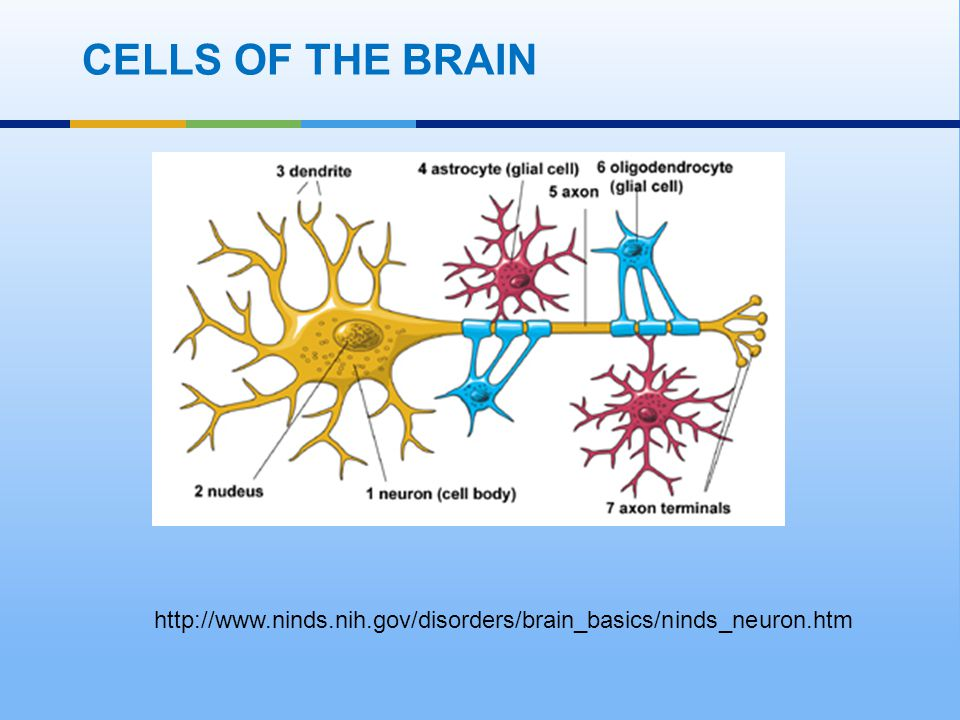 CELLS OF THE BRAIN http://www.ninds.nih.gov/disorders/brain_basics/ninds_neuron.htm