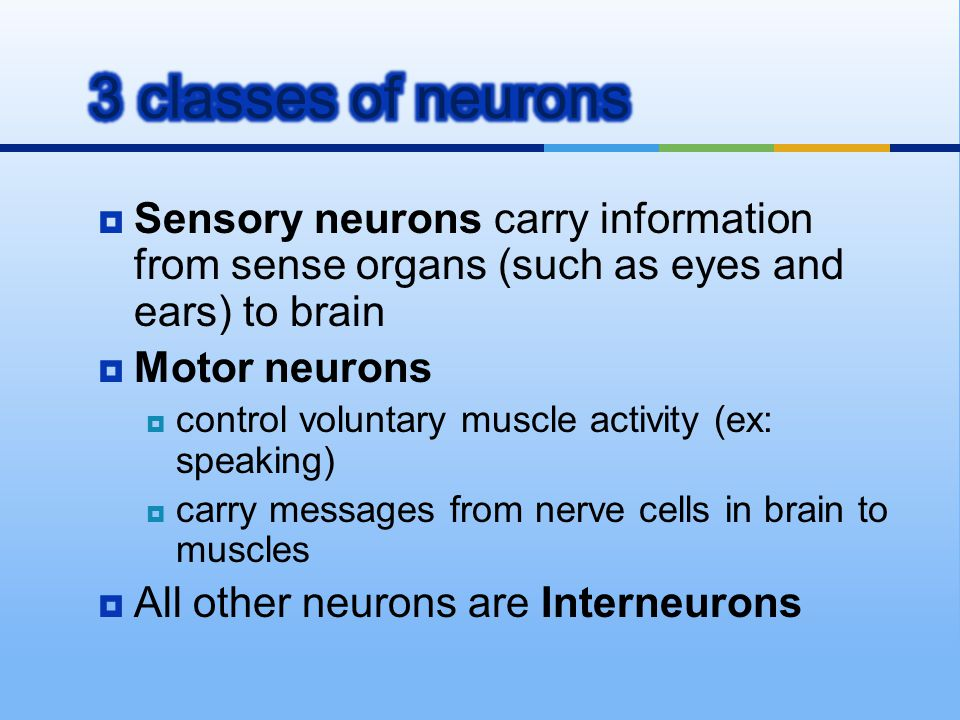 3 classes of neurons Sensory neurons carry information from sense organs (such as eyes and ears) to brain.