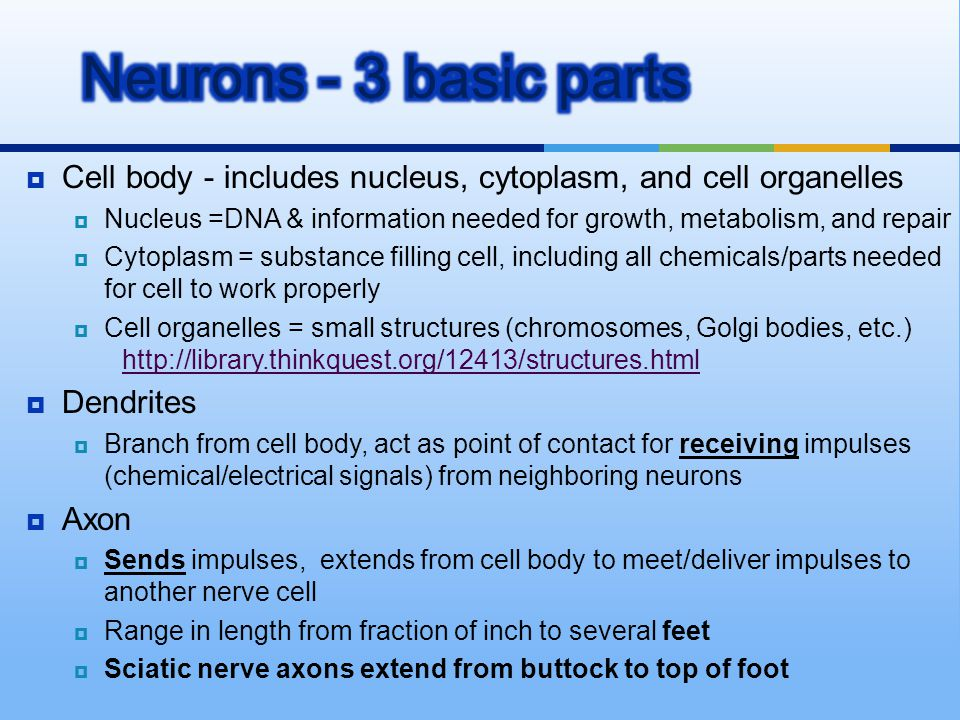 Neurons - 3 basic parts Cell body - includes nucleus, cytoplasm, and cell organelles.