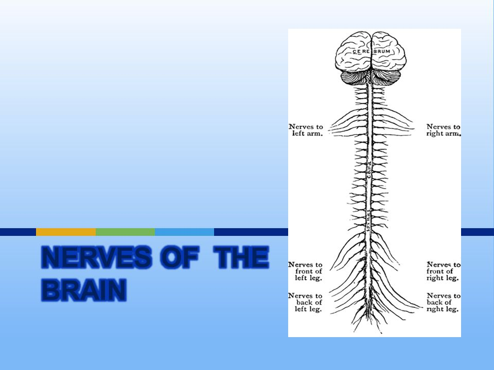 Nerves of the Brain