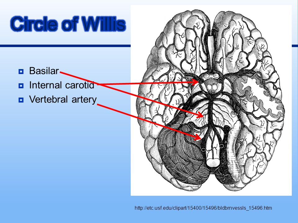 Circle of Willis Basilar Internal carotid Vertebral artery
