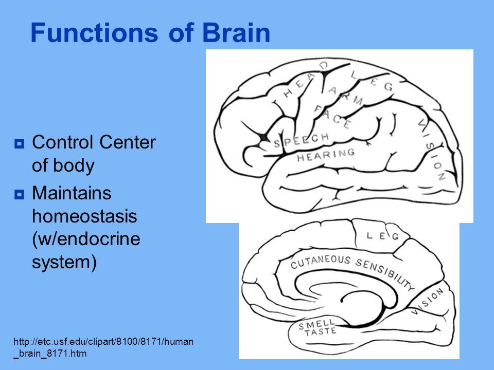 Functions of Brain Control Center of body