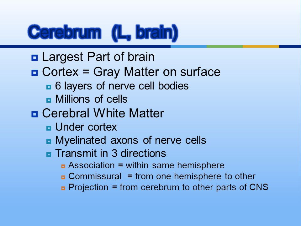 Cerebrum (L, brain) Largest Part of brain