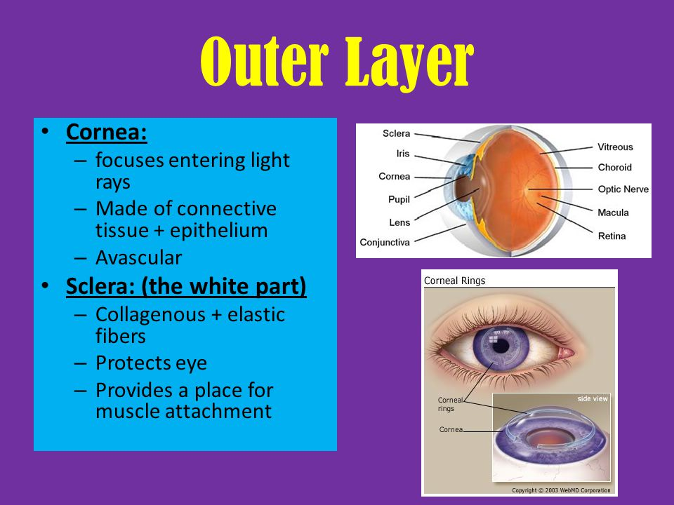 Outer Layer Cornea: Sclera: (the white part)