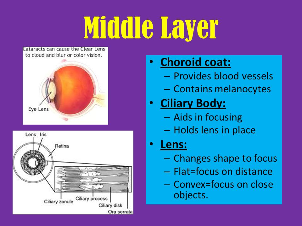 Middle Layer Choroid coat: Ciliary Body: Lens: Provides blood vessels