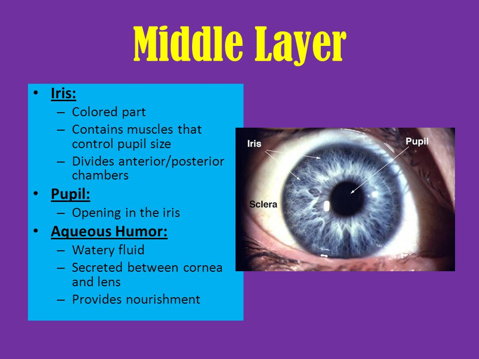 Middle Layer Iris: Pupil: Aqueous Humor: Colored part