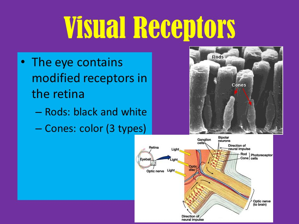 Visual Receptors The eye contains modified receptors in the retina