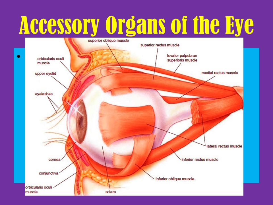 Accessory Organs of the Eye