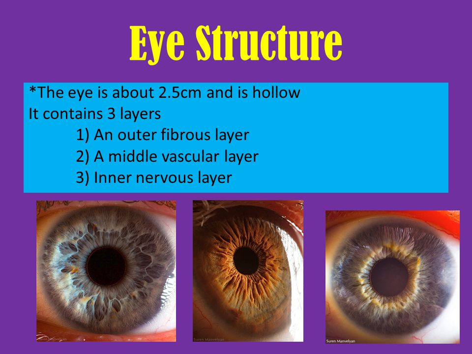 Eye Structure *The eye is about 2.5cm and is hollow It contains 3 layers 1) An outer fibrous layer 2) A middle vascular layer 3) Inner nervous layer