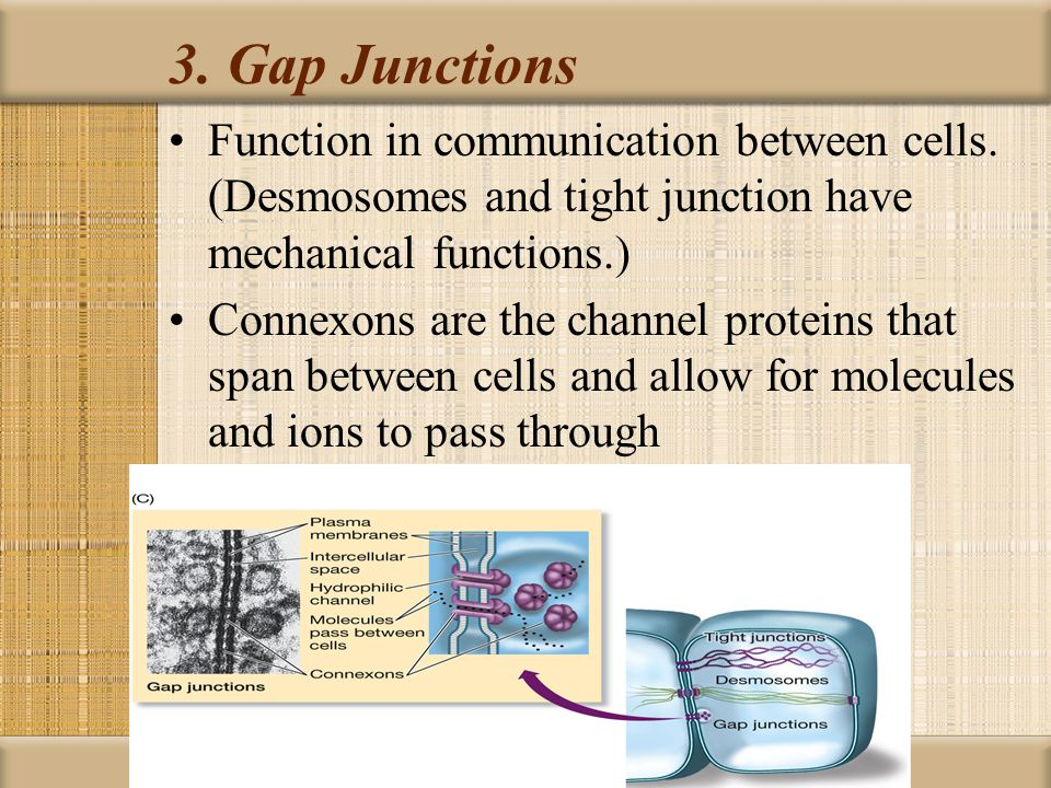 3. Gap Junctions Function in communication between cells. (Desmosomes and tight junction have mechanical functions.)