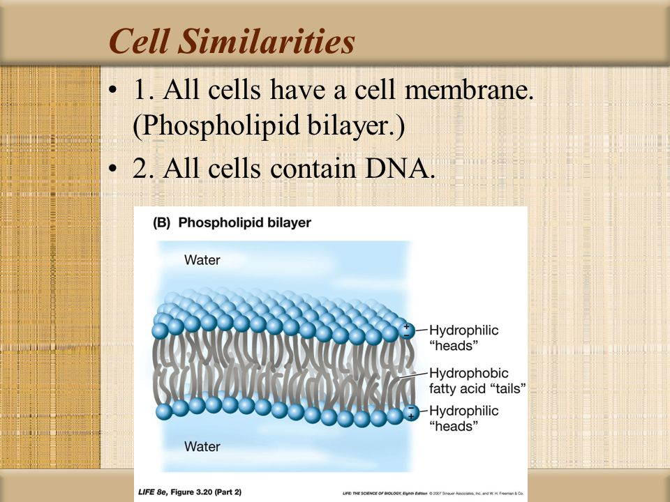 Cell Similarities 1. All cells have a cell membrane.