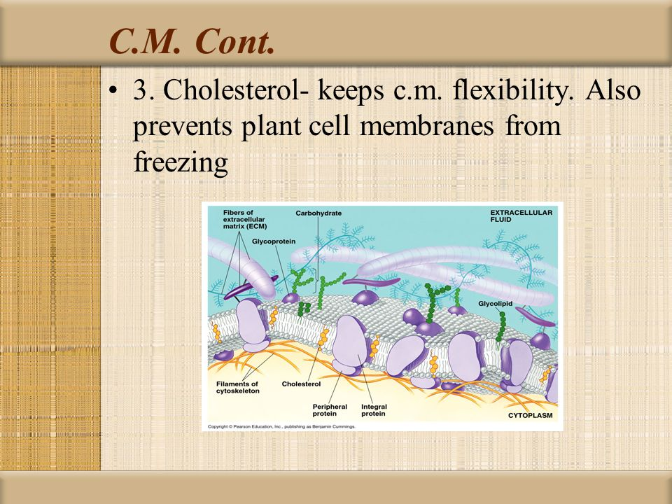C.M. Cont. 3. Cholesterol- keeps c.m. flexibility. Also prevents plant cell membranes from freezing