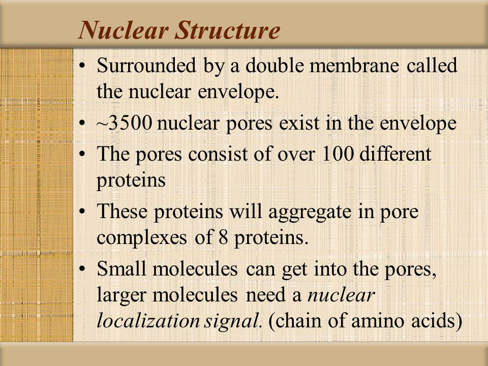 Nuclear Structure Surrounded by a double membrane called the nuclear envelope. ~3500 nuclear pores exist in the envelope.