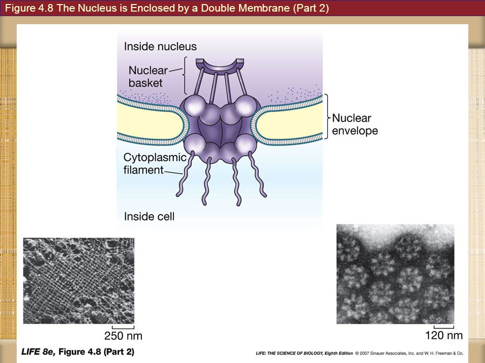 Figure 4.8 The Nucleus is Enclosed by a Double Membrane (Part 2)