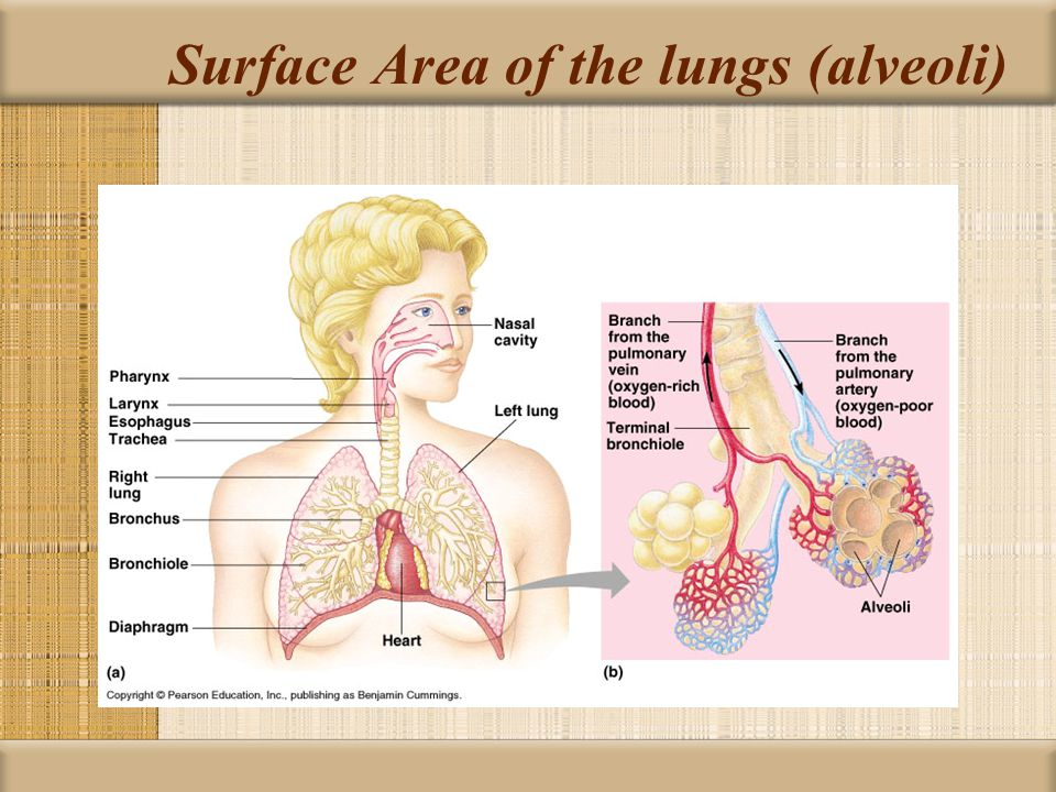 Surface Area of the lungs (alveoli)