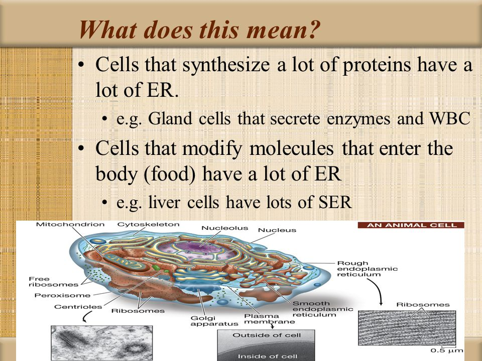 What does this mean Cells that synthesize a lot of proteins have a lot of ER. e.g. Gland cells that secrete enzymes and WBC.