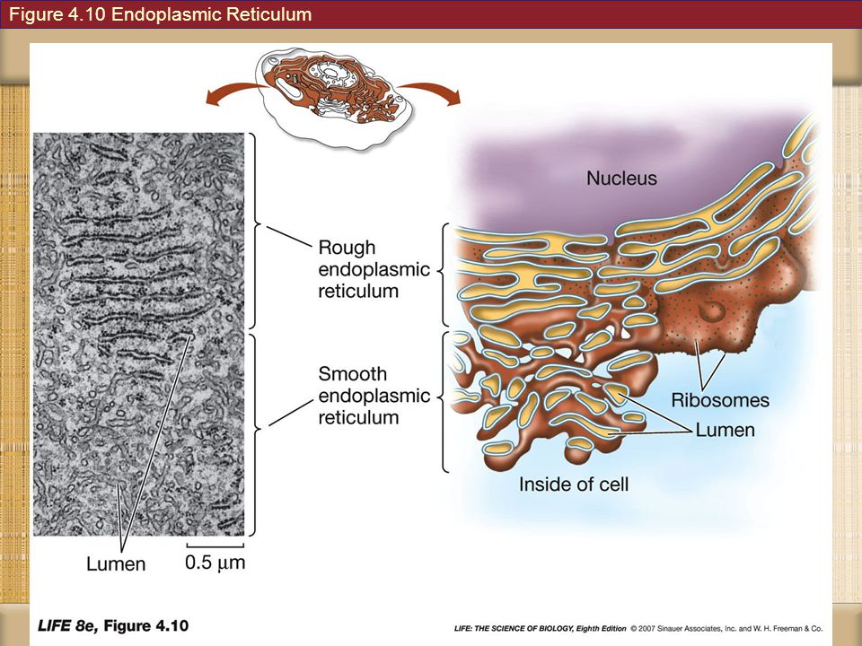 Figure 4.10 Endoplasmic Reticulum