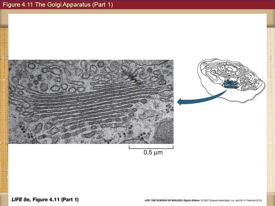Figure 4.11 The Golgi Apparatus (Part 1)