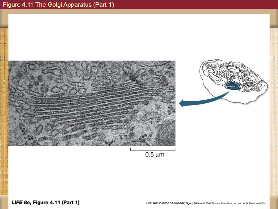 Figure 4.11 The Golgi Apparatus (Part 1)