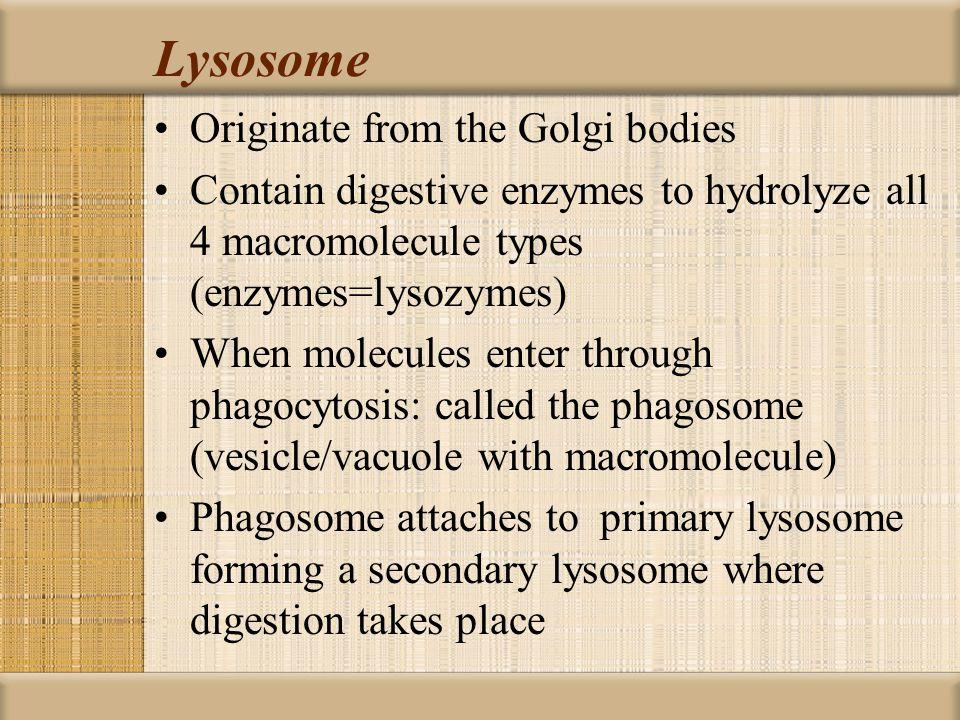 Lysosome Originate from the Golgi bodies