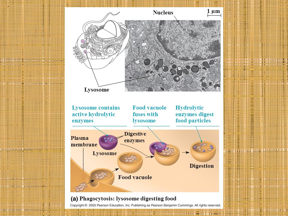 Phagocytosis: lysosome digesting food
