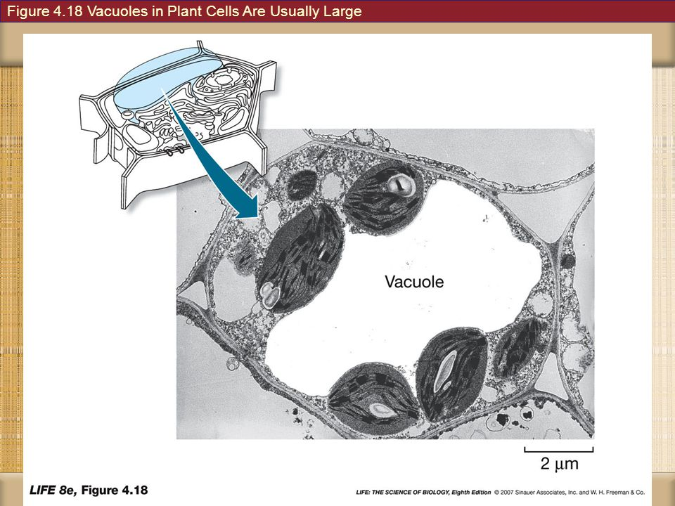 Figure 4.18 Vacuoles in Plant Cells Are Usually Large