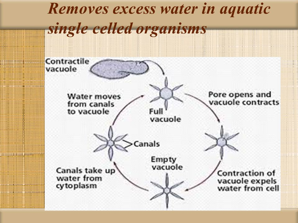 Removes excess water in aquatic single celled organisms
