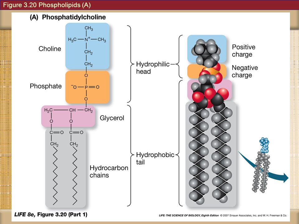 Figure 3.20 Phospholipids (A)