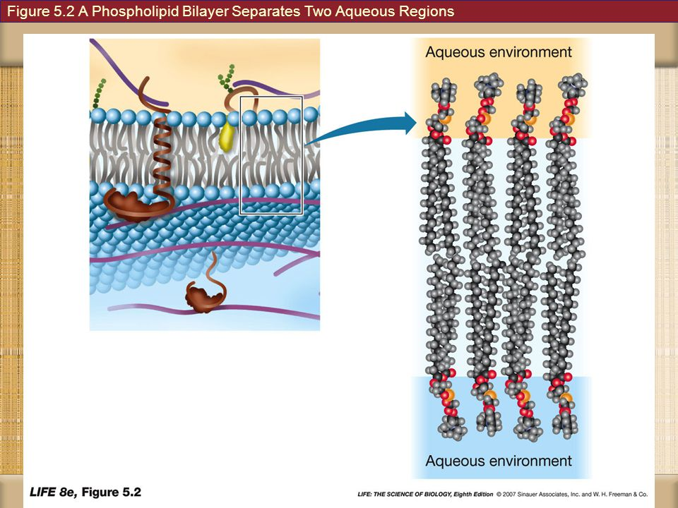 Figure 5.2 A Phospholipid Bilayer Separates Two Aqueous Regions