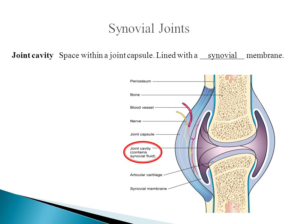 Synovial Joints Joint cavity Space within a joint capsule.
