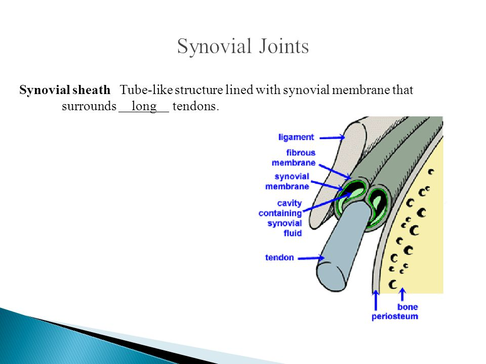 Synovial Joints Synovial sheath Tube-like structure lined with synovial membrane that surrounds long tendons.