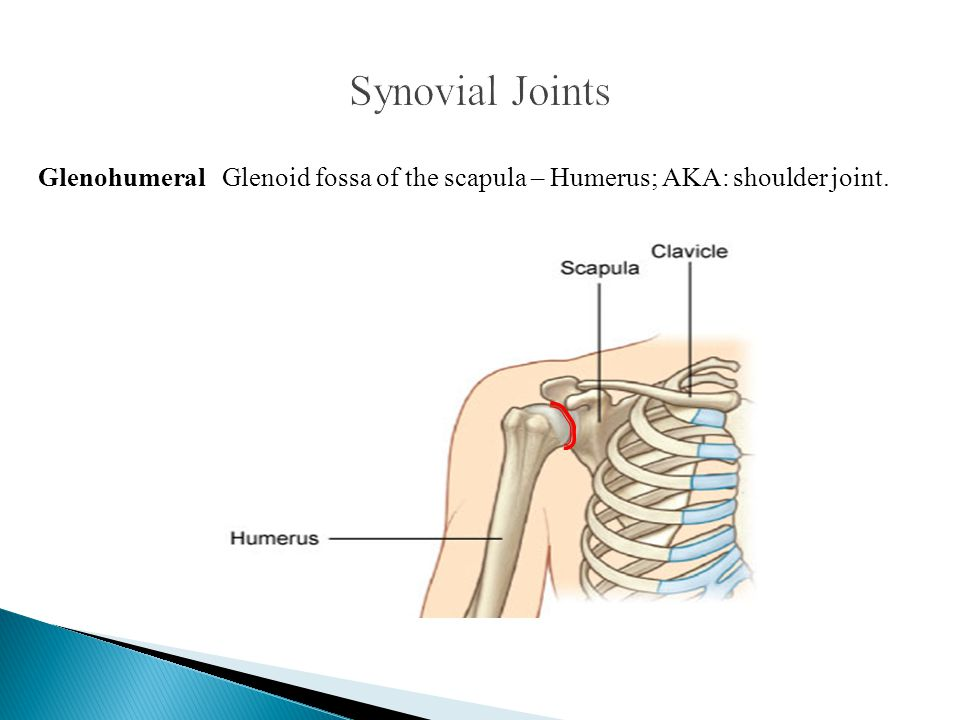 Synovial Joints Glenohumeral Glenoid fossa of the scapula – Humerus; AKA: shoulder joint.