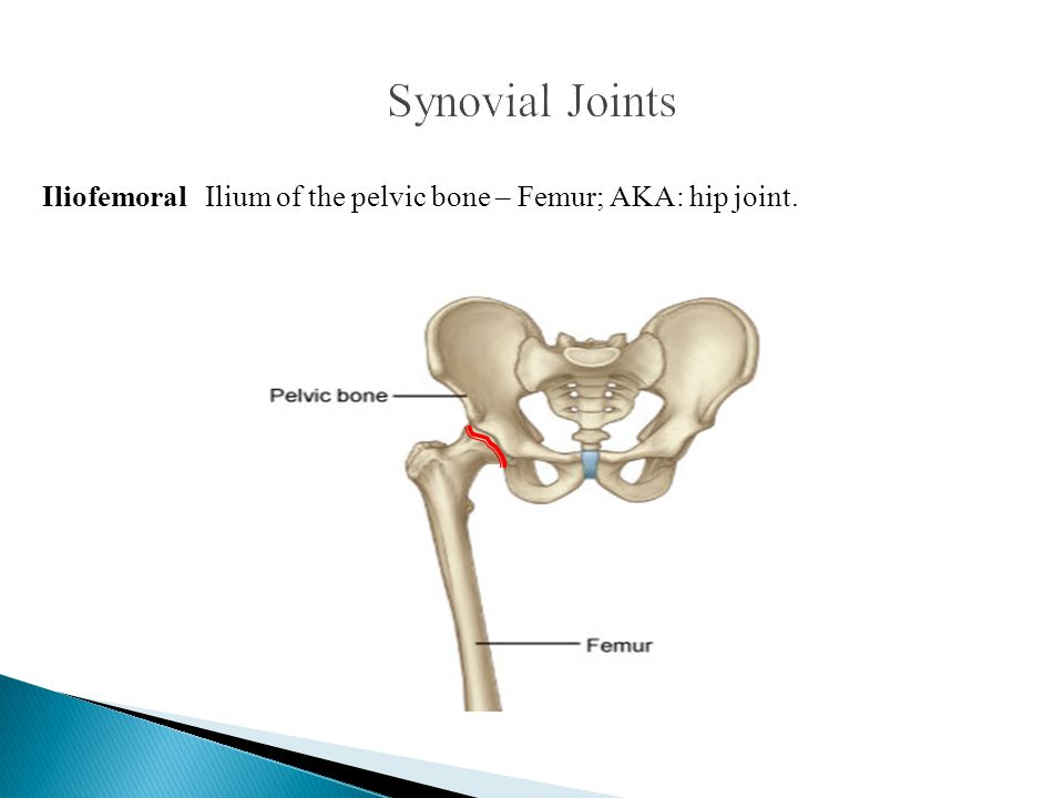 Synovial Joints Iliofemoral Ilium of the pelvic bone – Femur; AKA: hip joint.