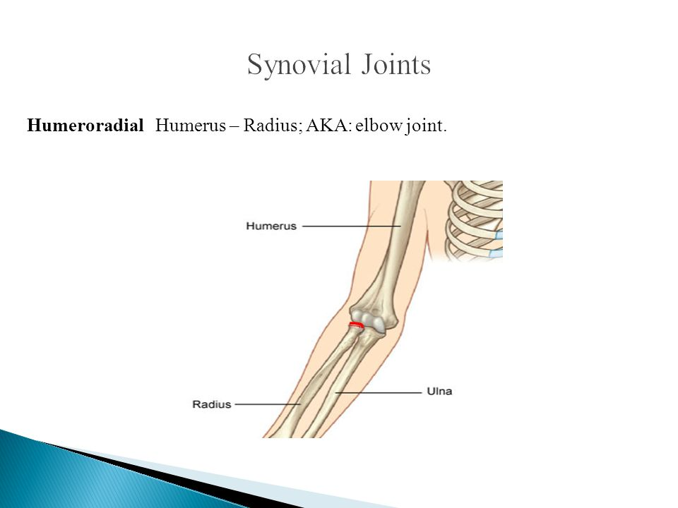 Synovial Joints Humeroradial Humerus – Radius; AKA: elbow joint.