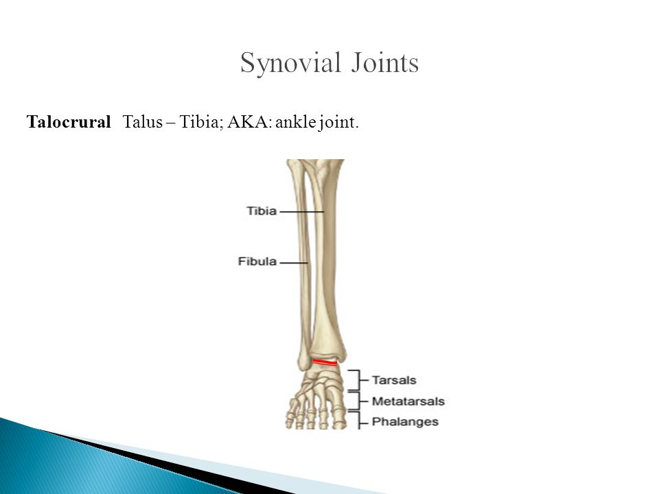 Synovial Joints Talocrural Talus – Tibia; AKA: ankle joint.