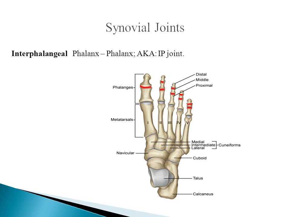 Synovial Joints Interphalangeal Phalanx – Phalanx; AKA: IP joint.