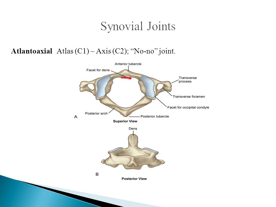 Synovial Joints Atlantoaxial Atlas (C1) – Axis (C2); No-no joint.