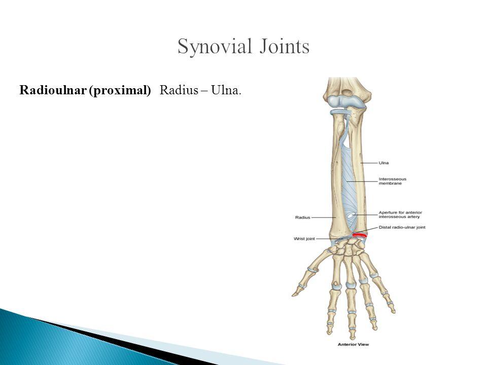 Synovial Joints Radioulnar (proximal) Radius – Ulna.