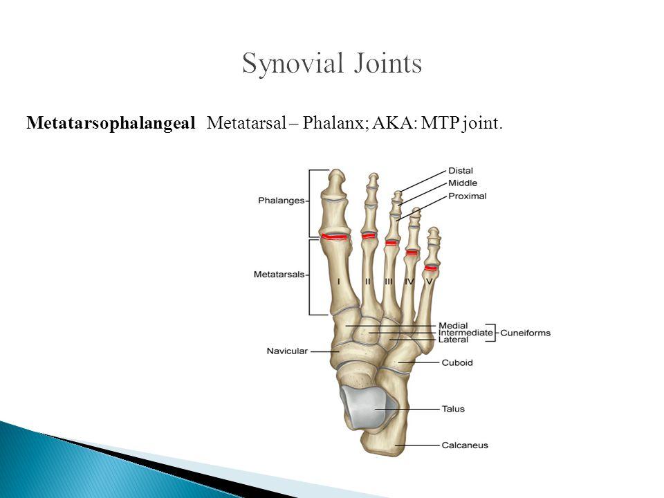 Synovial Joints Metatarsophalangeal Metatarsal – Phalanx; AKA: MTP joint.