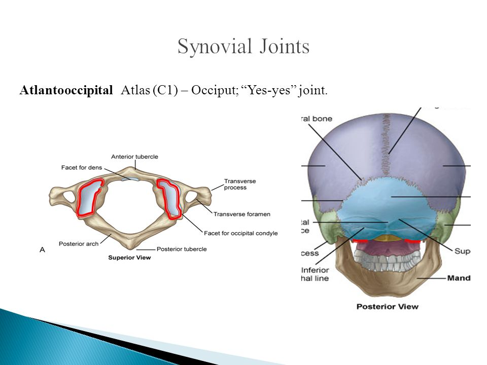 Synovial Joints Atlantooccipital Atlas (C1) – Occiput; Yes-yes joint.