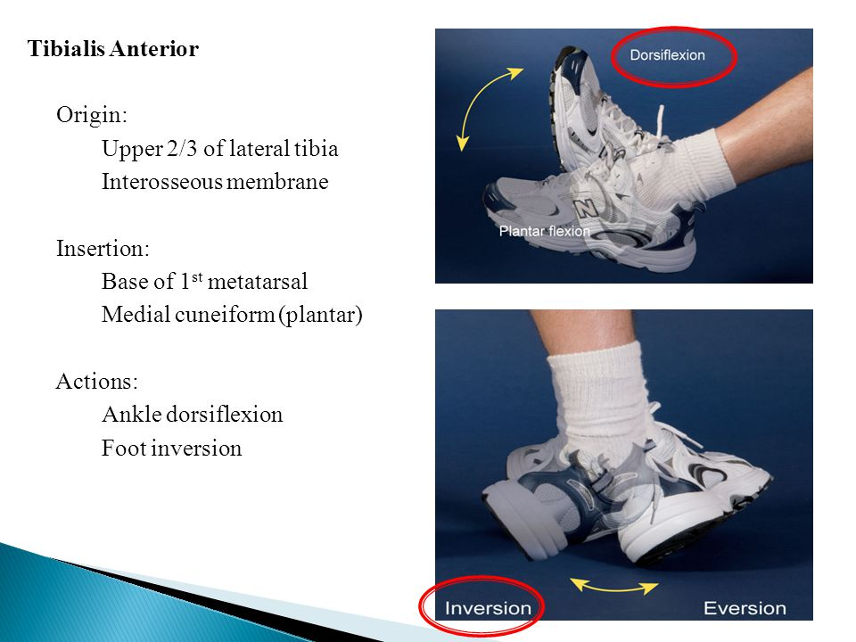 Tibialis Anterior Origin: Upper 2/3 of lateral tibia Interosseous membrane Insertion: Base of 1st metatarsal Medial cuneiform (plantar) Actions: Ankle dorsiflexion Foot inversion