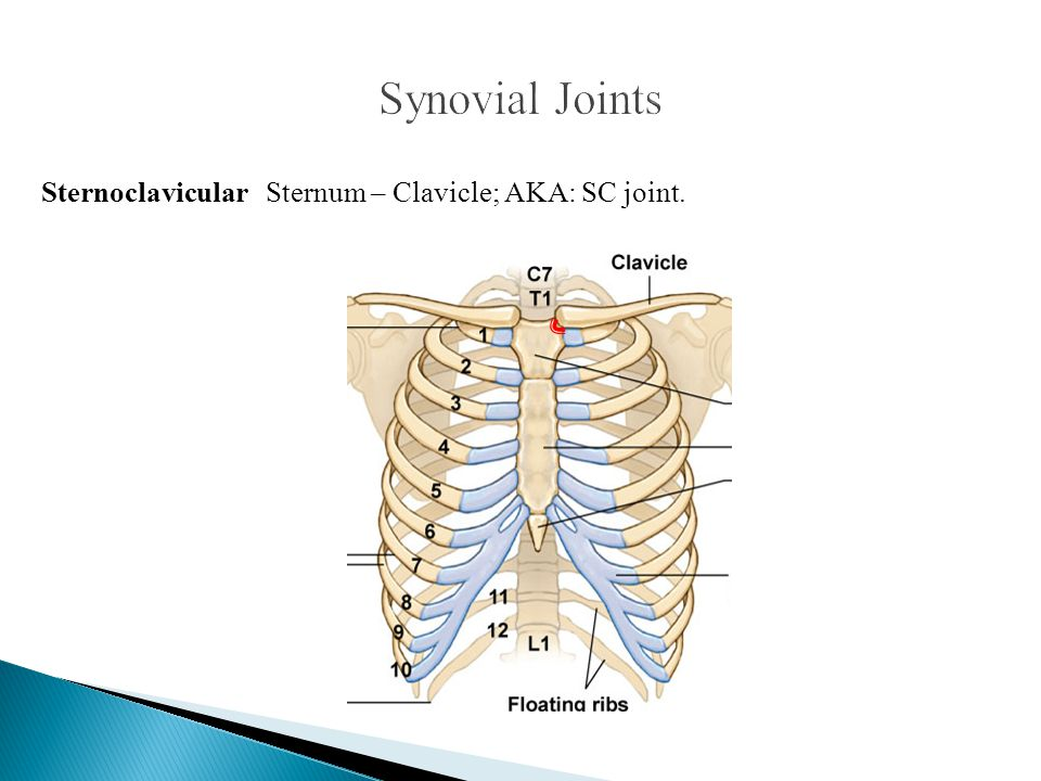Synovial Joints Sternoclavicular Sternum – Clavicle; AKA: SC joint.