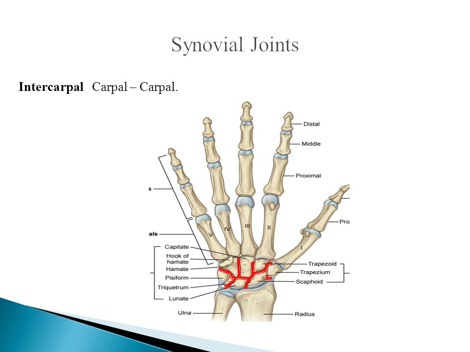 Synovial Joints Intercarpal Carpal – Carpal.