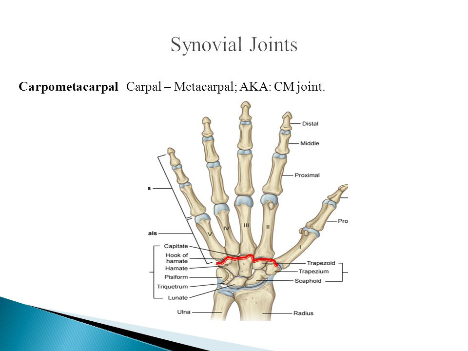 Synovial Joints Carpometacarpal Carpal – Metacarpal; AKA: CM joint.