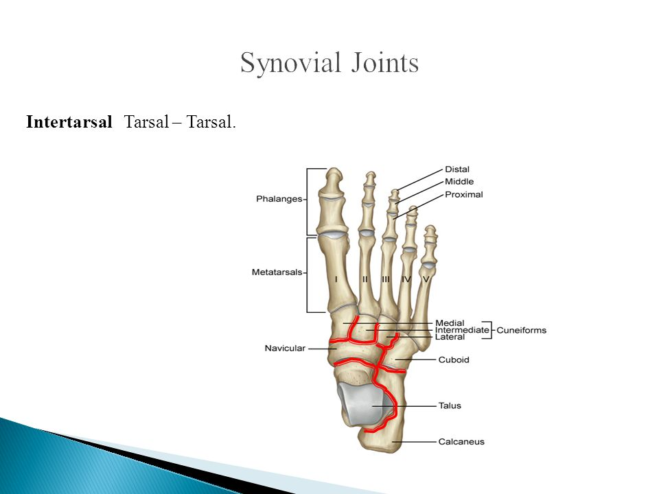 Synovial Joints Intertarsal Tarsal – Tarsal.
