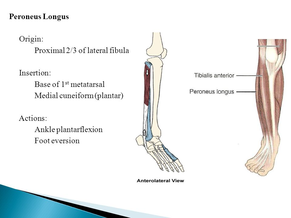 Peroneus Longus Origin: Proximal 2/3 of lateral fibula Insertion: Base of 1st metatarsal Medial cuneiform (plantar) Actions: Ankle plantarflexion Foot eversion