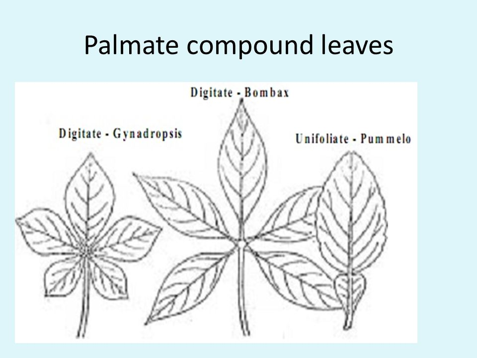 Palmate compound leaves