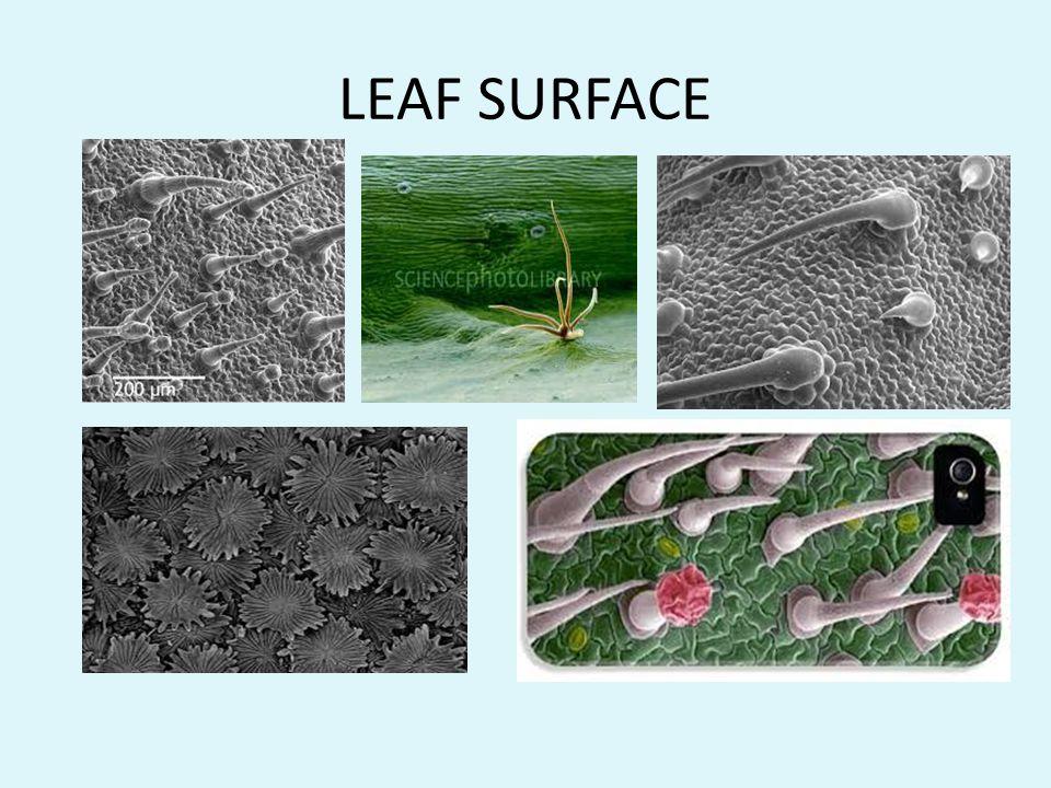 LEAF SURFACE