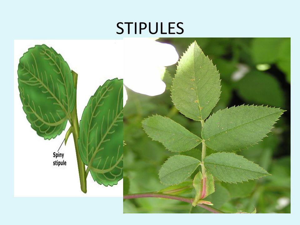 STIPULES