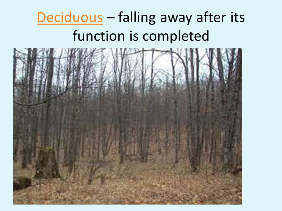 Deciduous – falling away after its function is completed